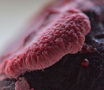 Beetroot mould close up