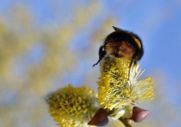 Bumble Bees bottom !