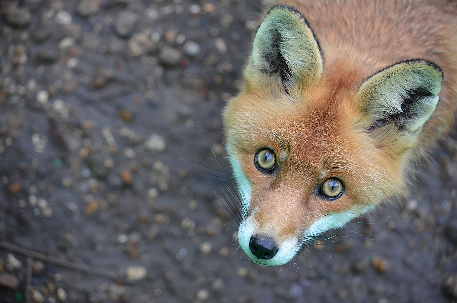 один картинки хитрой лисы сердитой был снят