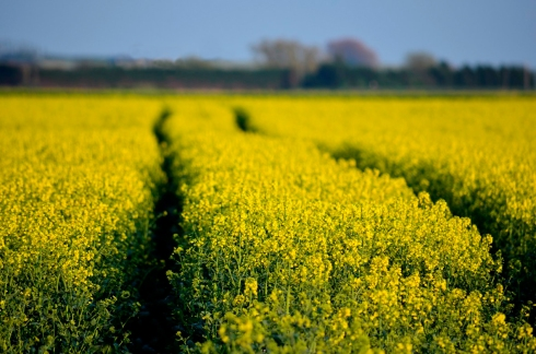 Tracks in a rapeseed field