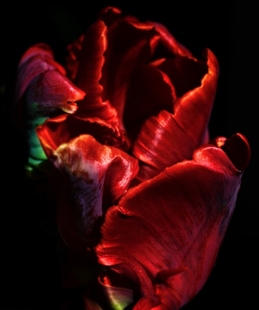 close up of deep red tulip