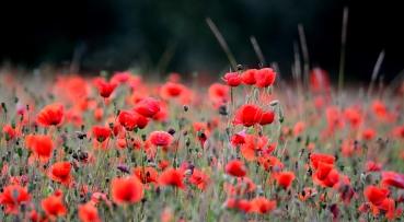 High contrast poppy field
