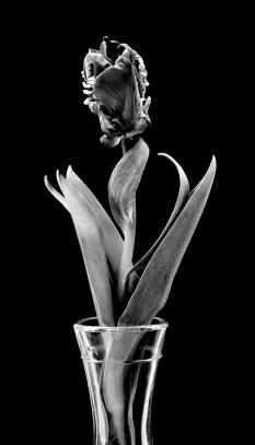 Tulip in B&W