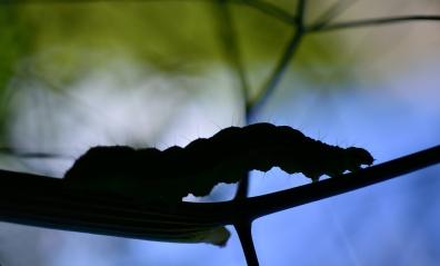 Caterpillar in sillhouette