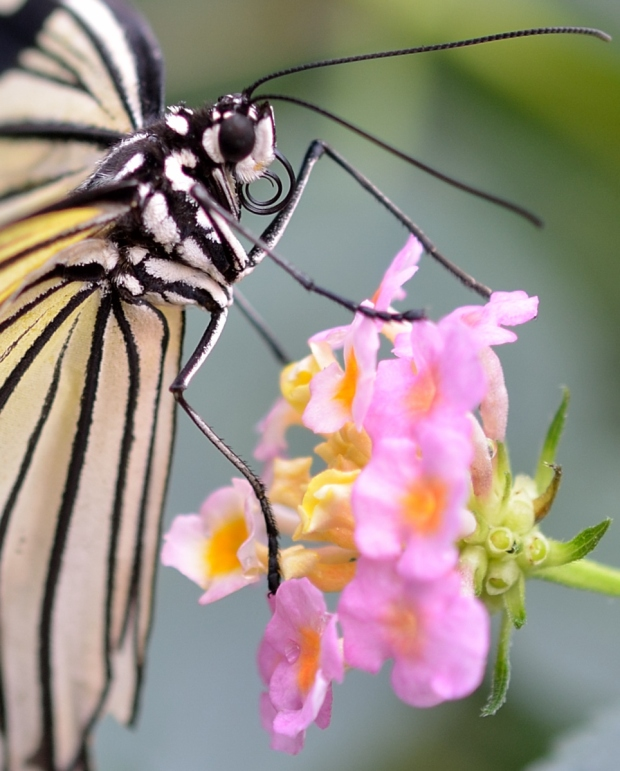 Butterfly's curled proboscis
