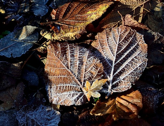 3 frosted leaves