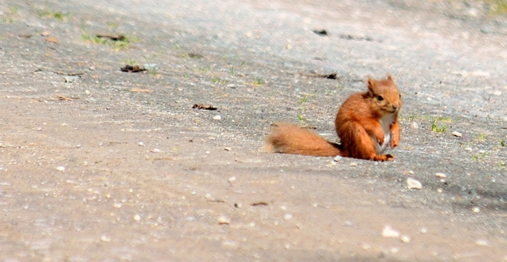 red squirrel on the road - to right