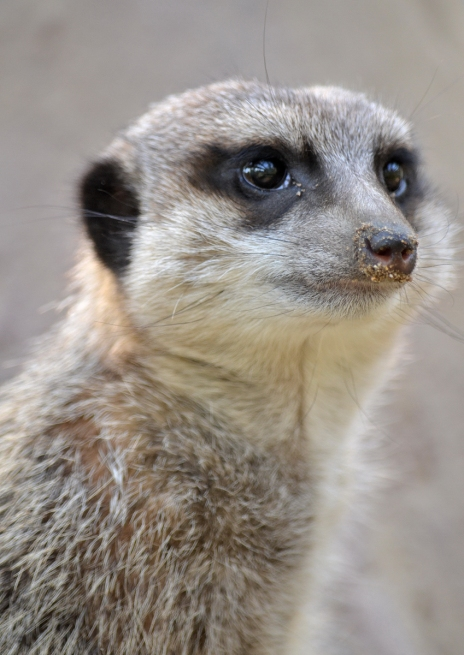 Meerkat's face close-up