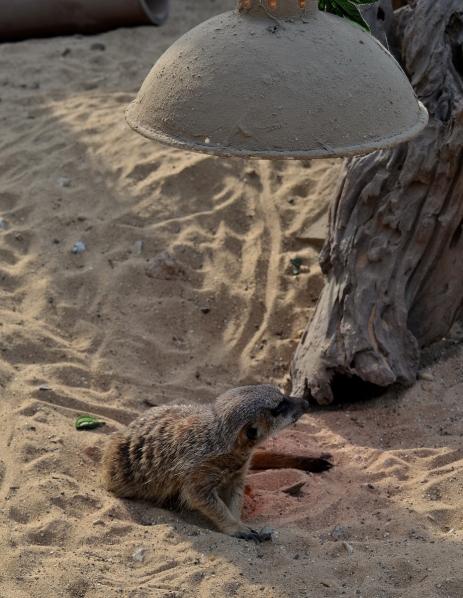 meerkat lying under a heat lamp