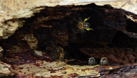 bees going into hole in tree and out again,