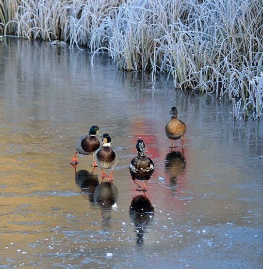 4 ducks on ice