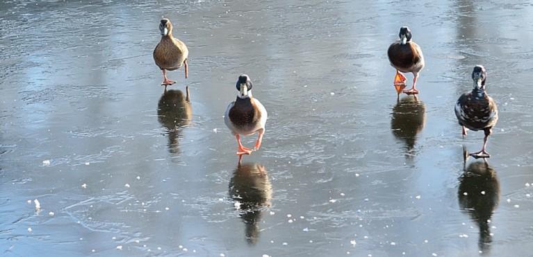 4 ducks walking on the ice