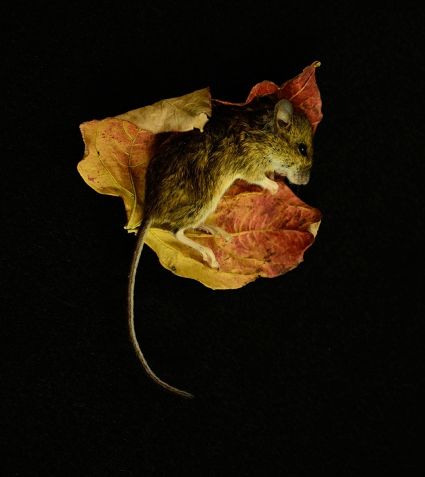 beautiful but dead mouse lying on a leaf.