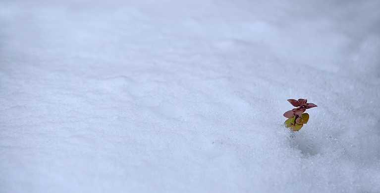 Single stem of leaves in the snow