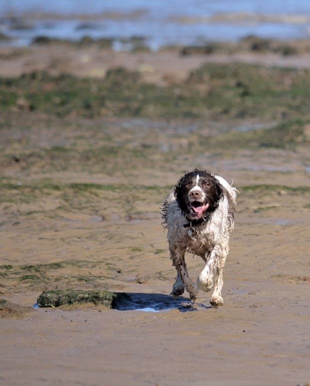 dog running from the sea
