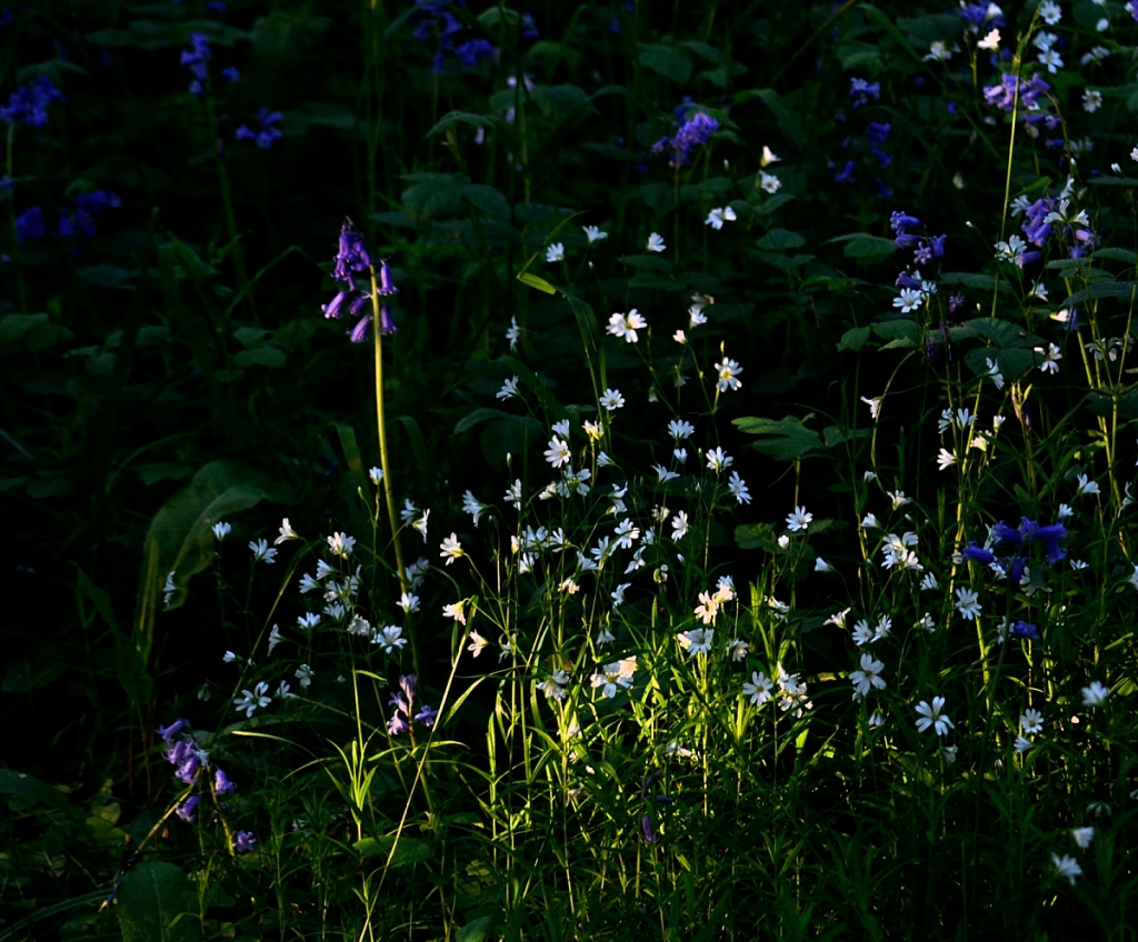 sig=ngle bluebells in amongst scattered little white flowers brightly lit by low sun.