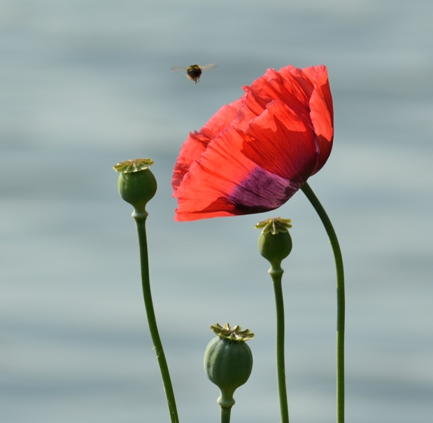 Poppy with bee flying above it.