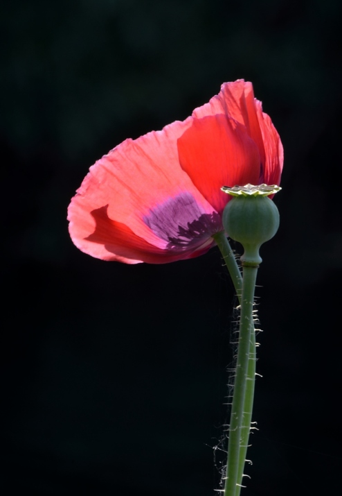 Poppy in low key and backlit