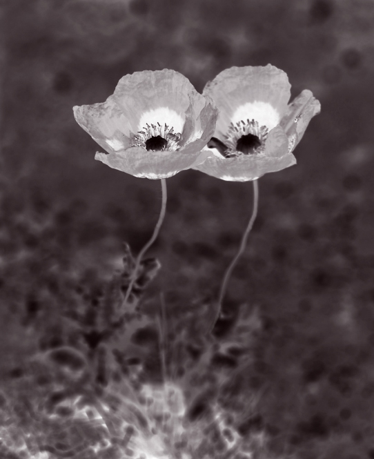 Sci-Fi poppies - sort of B&W