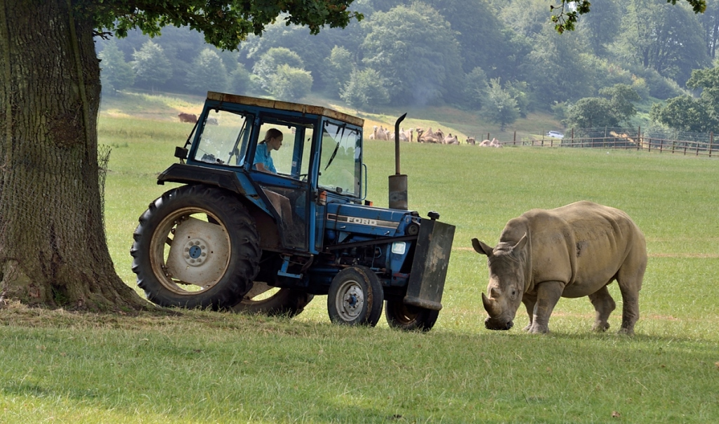 Rhinocerous to right facing tractor to left under the tree.