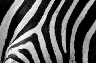 stripes of the zebra