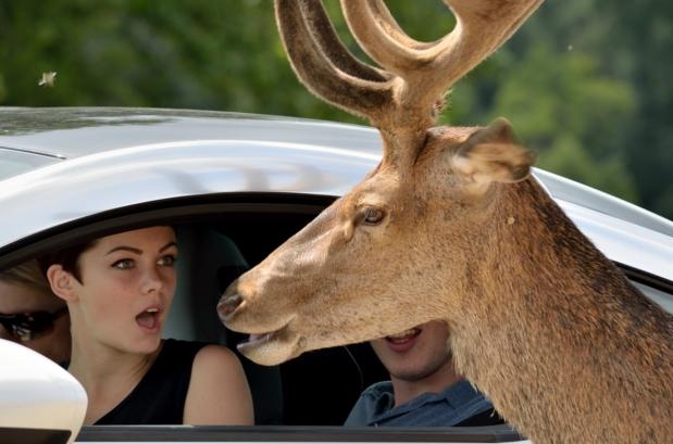 woman sitting in car looking amazed as deer pokes it's head into car wondow