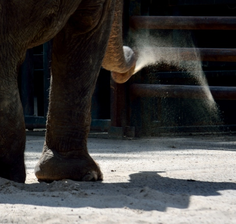 elephant flicking dust with it's trunk