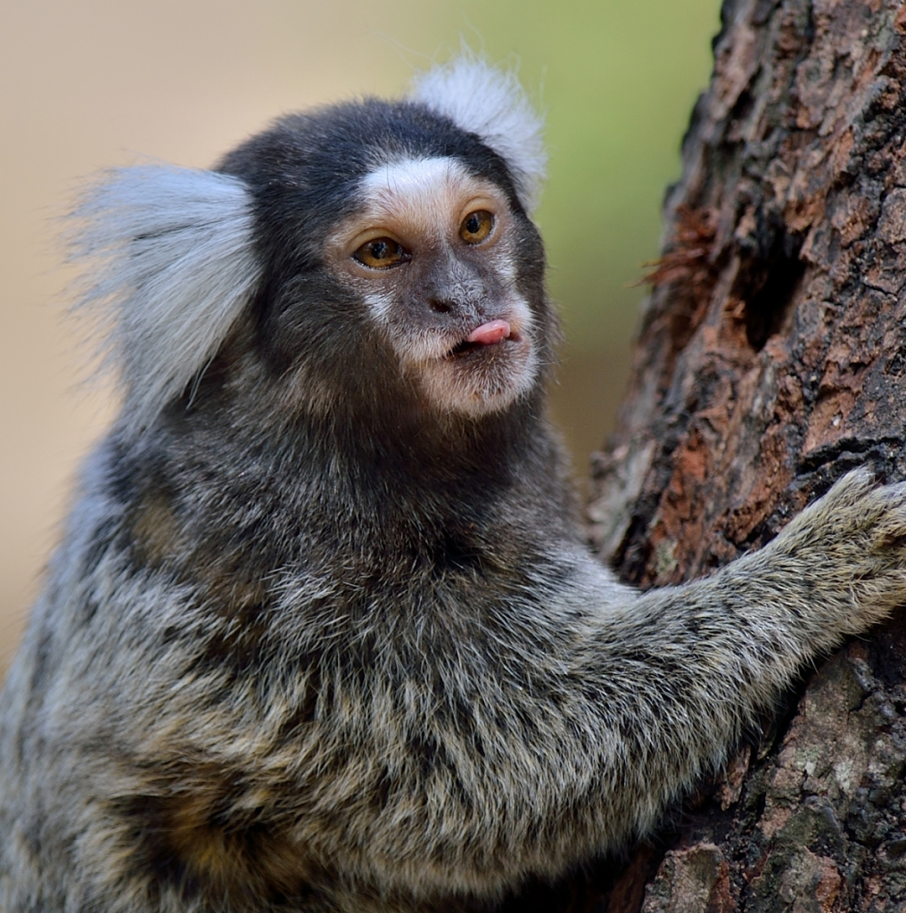 marmoset Monkey's face