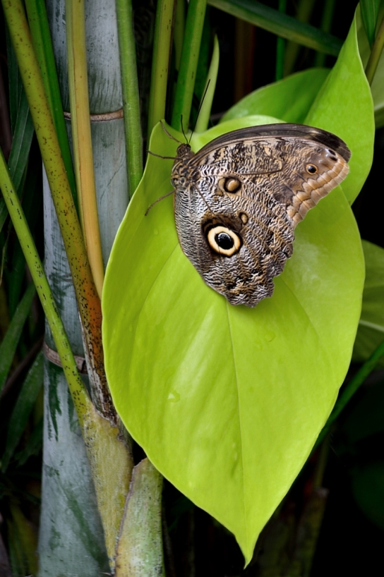 Owl Butterfly on very green leaf,