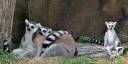 The Lemur family