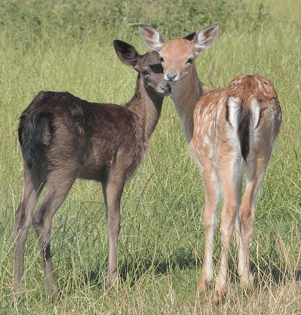 2 fawns, heads close together smaller