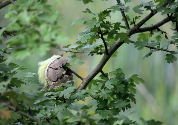 Tennis ball impaled on a branch