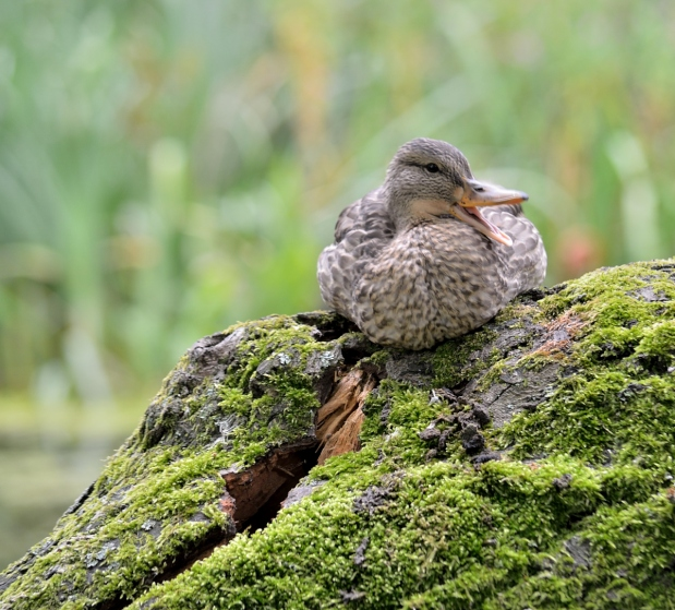 duck sitting on a tree stump