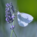 butterfly on right with 2 shafts of bright light on it sitting on lavender flower on left