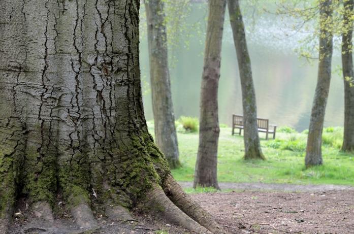 a mighty beech tree