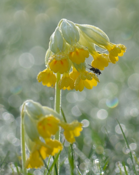 Dewy Cowslip and fly at dawn with dew drops