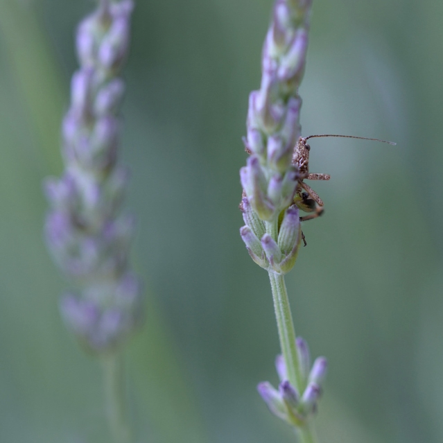 Helen Cherry - Hiding in the Lavender -1
