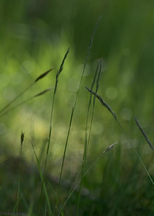 grasses 7