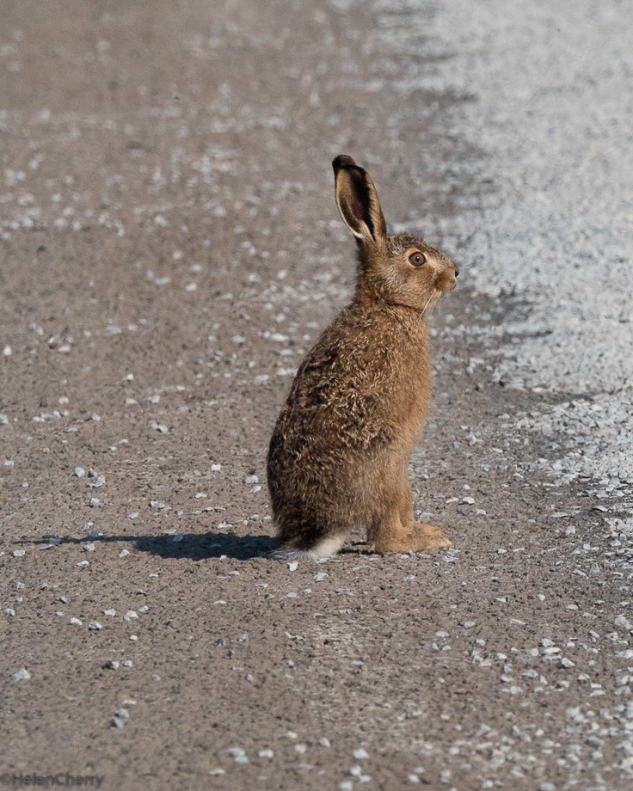 leveret on the road 1
