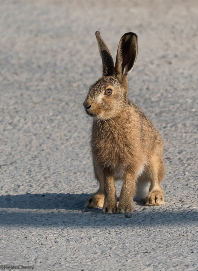 Leveret on the road_