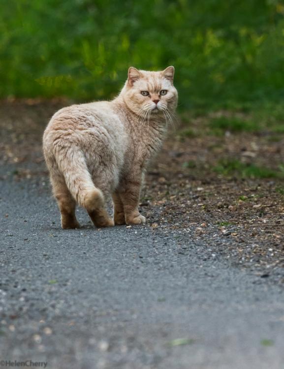 Ginger cat_