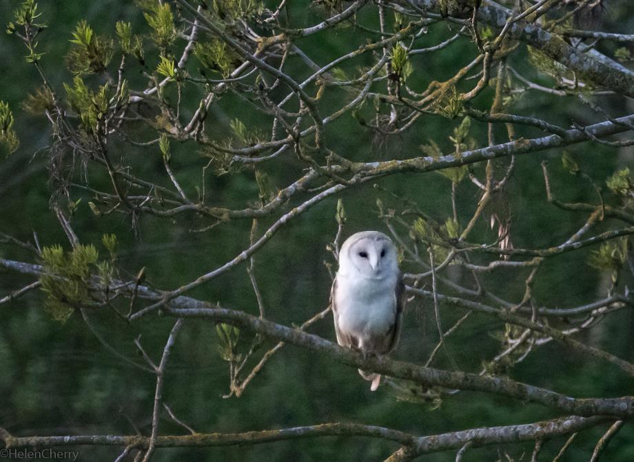 Owl 1_