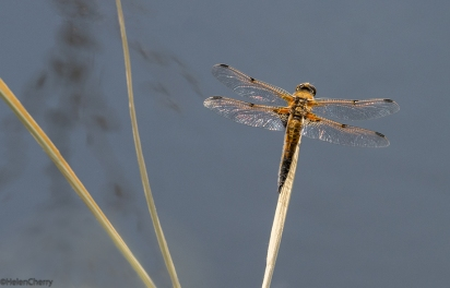Four-spotted Chaser 1 smaller