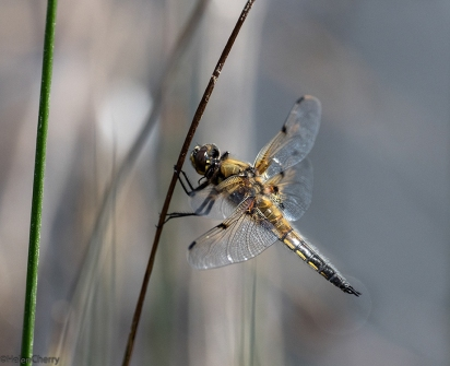 Four-spotted Chaser 4 smaller