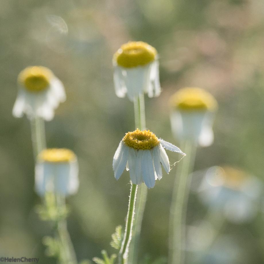 six daisies