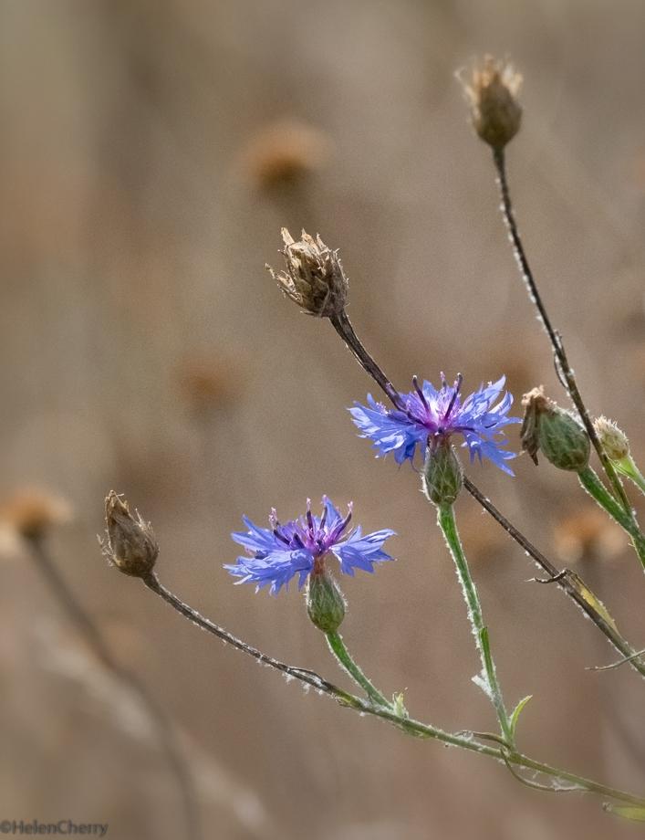 Cornflowers and seed heads