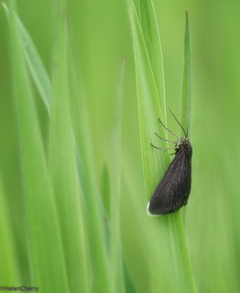 Chimney Sweep moth (1 of 1)