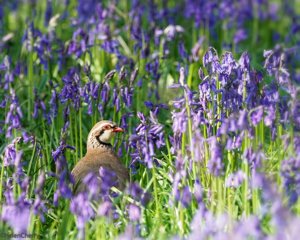 red legged partridge 3 (1 of 1)