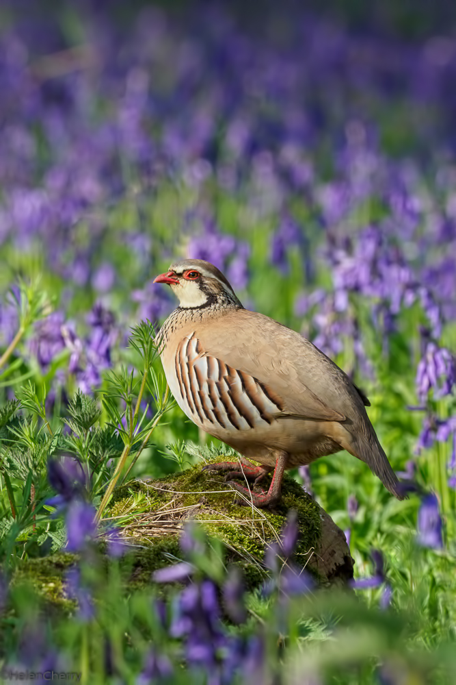Red legged partridge in bluebells 1 (1 of 1)